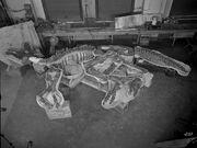 Lambeosaurus PR 380 Collected in 1921 Sternberg.jpg