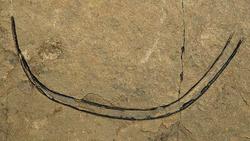 Sphenothallus sp.