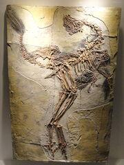 Caudipteryx fossil.jpg
