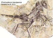 Eosinopteryx fossil.jpg