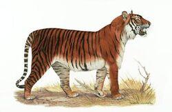 Балийский тигр.jpg