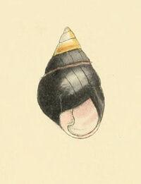 Achatinella apexfulva 2.jpg