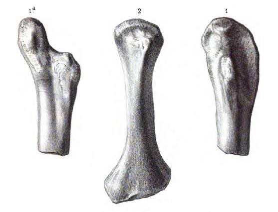 Актиозавр