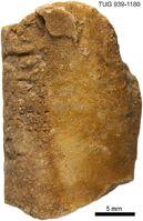 Orthonybyoceras isakari 5