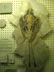 Confuciusornis fossil 02.jpg