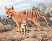 Thylacinus-cynocephalus 4.jpg