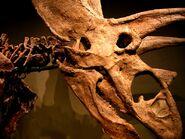 Titanoceratops ouranos