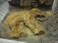 Магаданский мамонтенок