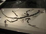 Fukuivenator fossil.jpg