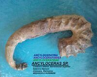 Анцилоцерас 3