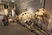 Prosaurolophus fossil 01.jpg