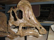 Hypacrosaurus skull.jpg