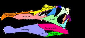 Череп спинозавра.png