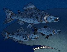 Oncorhynchus rastrosus 2.jpg