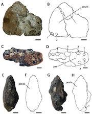 Ornithocheirus simus holotype.jpg