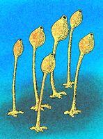 Siphonia tulipa