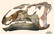 Eotrachodon-orientalis skull.jpg