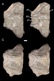 Pentasaurus skullroof.png