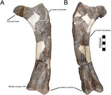 220px-Yehuecauhceratops femur