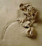 Velociraptor fossils 02.jpg