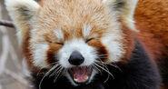Laughing-panda