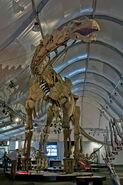 SauroposeidonSkeleton01