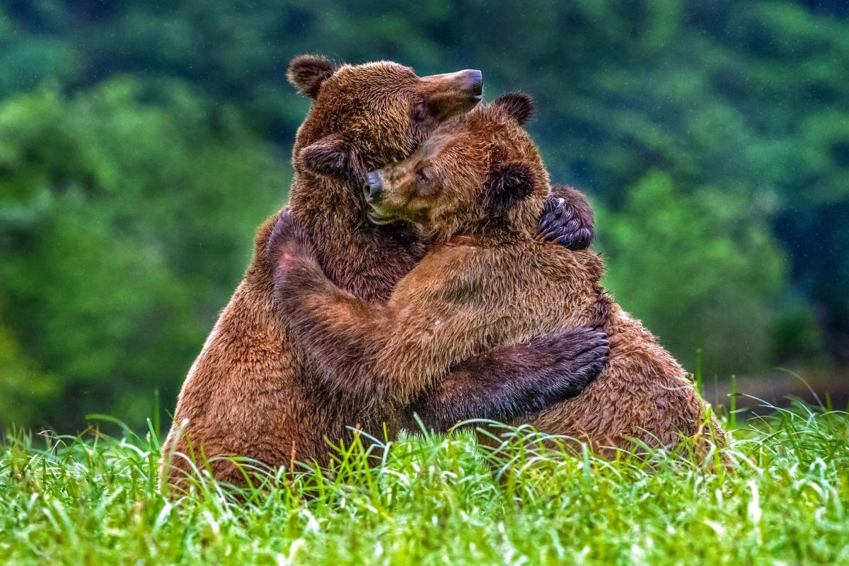 Бурые медведи.jpg