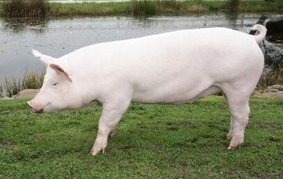 White Pig1.jpg