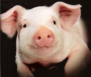 White Pig2.jpg