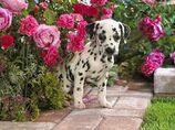 Flower dalmat