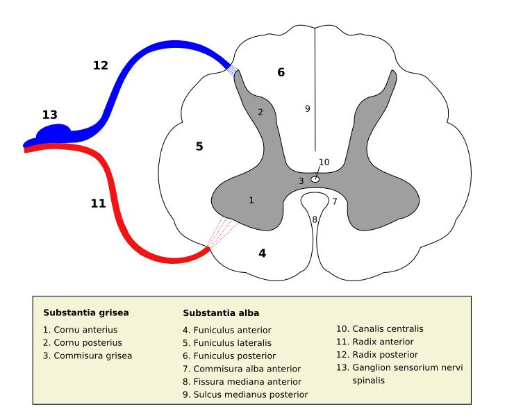 Anterior funiculus