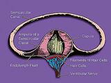 Osseous ampullae