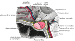 Grays pituitary.png