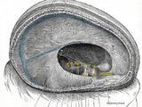 Glossopharyngeal nerve
