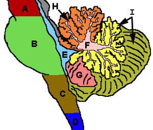 CerebellumRegions.jpg