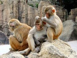 Rhesus Macaques 4528.jpg