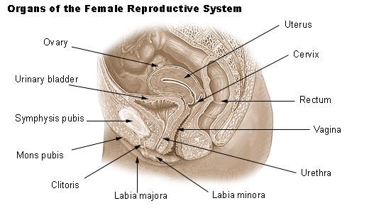 Vulva wiki Labia