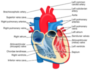Structure of the heart valves.png