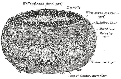 Glomerulus (olfaction)