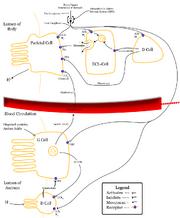 Control-of-stomach-acid-sec.png