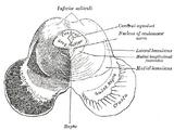 Inferior colliculus