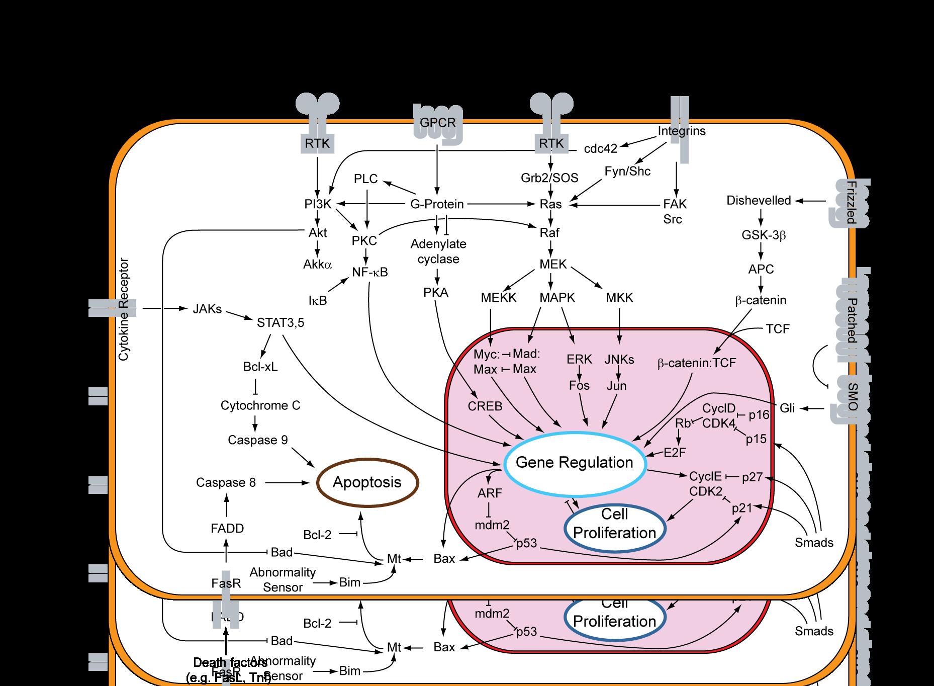 Mitogen-activated protein kinase