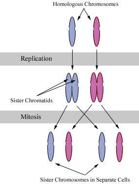 Chromosomes during mitosis.jpg