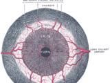Iris dilator muscle
