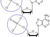 Phosphodiester bond