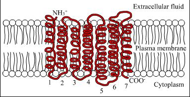FSH-receptor