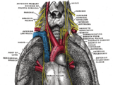 Phrenic nerve