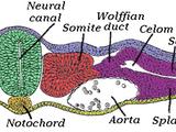 Neurulation