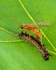 Aleiodes indiscretus parasitizing a gypsy moth caterpillar