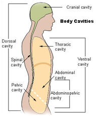 Illu body cavities.jpg